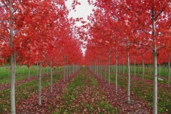 autumn-blaze-red-maple